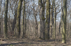 橡木角树森林在早期的春天 免版税图库摄影