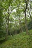 橡木,阿尔斯沃特湖, Cumbria 免版税库存照片
