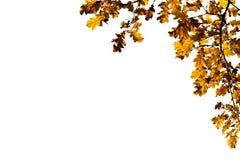 橡木离开框架白色背景 免版税库存照片