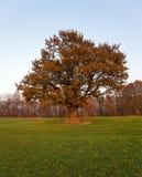 橡木(秋天) 免版税库存图片