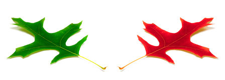 橡木绿色和红色叶子  库存图片