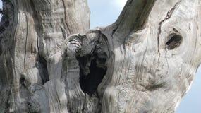 橡树–古老–石化–Maldon -享受天庆祝的森林橡树树精古老化石森林 库存照片
