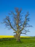 橡树、油菜领域和海 免版税图库摄影