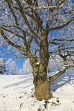 橡树冬天 免版税库存图片