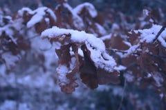 橡树分支与雪在冬天公园 免版税库存照片