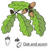 橡树分支和橡子 免版税库存照片