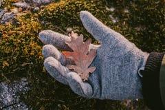 橡树叶子举行在手中在绿色青苔背景中 关闭干燥橡木叶子看法在日落光的, 库存照片