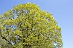 橡树叶子新绿色  免版税图库摄影