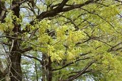 橡树叶子新绿色  库存照片