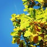 橡树叶子 在Valaam海岛上的秋天 框架 免版税库存图片