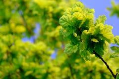 橡树叶子 免版税图库摄影