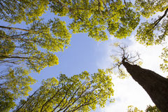 橡树和蓝天新鲜的叶子  免版税库存照片