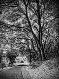 橡树和道路 免版税库存图片