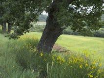 橡树和黄色花用法语普罗旺斯在manosque附近 库存图片