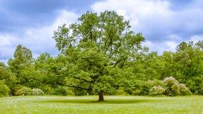橡树在一个晴天 免版税库存照片