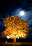 橡树在与星的晚上在sky.GN 免版税库存图片