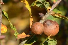 橡树在与橡木胆汁的秋天 免版税库存图片