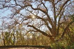 橡树在反对天空和太阳的秋天森林里 免版税图库摄影