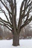 橡树在城市公园 免版税库存图片