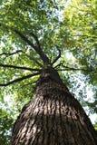 橡树在森林里 库存照片