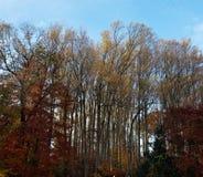 橡树在秋天 免版税库存照片