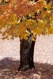 橡树在秋天 免版税库存图片