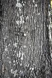 橡树树干特写镜头 免版税库存图片