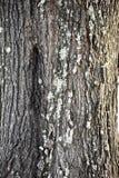 橡树树干特写镜头 免版税图库摄影