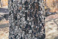橡树树干纹理和背景与青苔和地衣 生苔吠声树纹理 抽象纹理和背景设计的 免版税库存照片