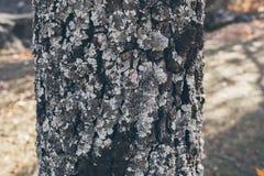 橡树树干纹理和背景与青苔和地衣 生苔吠声树纹理 抽象纹理和背景设计的 图库摄影
