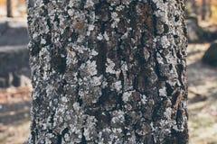 橡树树干纹理和背景与青苔和地衣 生苔吠声树纹理 抽象纹理和背景设计的 免版税库存图片