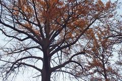 橡树的冠 免版税库存照片