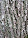 橡树纹理 免版税库存照片