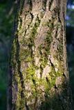 橡树青苔摘要自然日落背景吠声  免版税库存图片