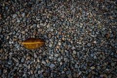 橡胶叶子 免版税库存照片