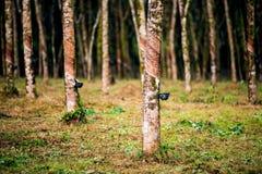 橡胶支持橡胶树 库存图片