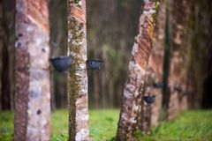 橡胶支持橡胶树 免版税库存图片