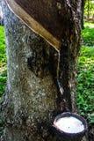 橡胶来自树电话三叶胶Brasiliensis 免版税库存图片