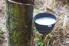 橡胶树。 免版税库存照片