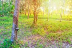 橡胶树在乡下和日落轻的口气的庭院农业 拷贝空间增加文本 免版税库存照片