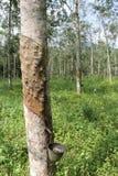 橡胶树在橡胶园在马来西亚 库存图片
