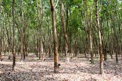 橡胶树在泰国 免版税库存照片