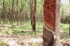 橡胶树在泰国 免版税图库摄影