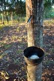 从橡胶树提取的乳汁在泰国 免版税库存图片