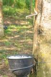 从橡胶树提取的乳状乳汁, Loei,泰国 免版税库存照片