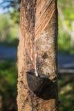 从橡胶树的乳汁 免版税库存图片