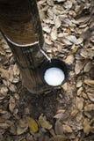 从橡胶树的自然乳汁 免版税库存照片