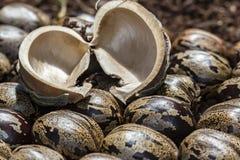 橡胶树种子吠声在橡胶树种子,三叶胶brasiliensis种子的关闭照片 库存图片