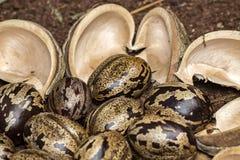 橡胶树种子和吠声在土壤,三叶胶brasiliensis播种特写镜头照片 免版税库存图片