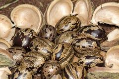 橡胶树种子和吠声在土壤,三叶胶brasiliensis播种特写镜头照片 库存照片
